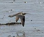 Curlew - Passage Migrant and Winter Visitor
