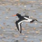 Oystercatcher - resident and winter visitor